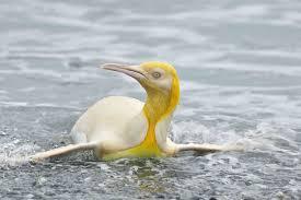 黄色いオウサマペンギン