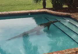 民家のプールに出現した巨大ワニ。