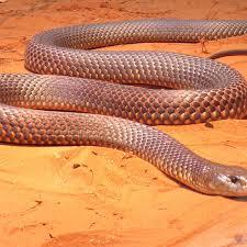 イースタンブラウンスネーク(Eastern Brown Snake)