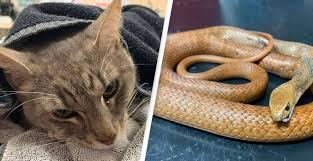 毒ヘビから飼い主の幼い子ども達を守った猫、自ら噛まれて犠牲に