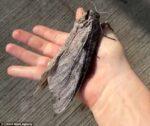 ジャイアント・ウッド・モス(Giant Wood Moth)