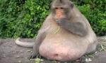 タイで肥満になったサル