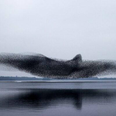 ムクドリが群れを形成し「別次元の巨大な鳥」を形成。
