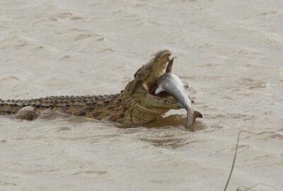 獰猛なナイルワニがサメを頭から丸呑みに