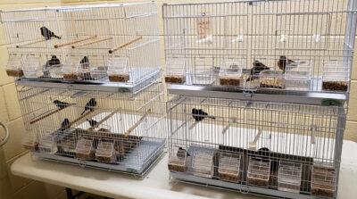 ヘアカーラーに詰めた小鳥35羽を密輸しようとした男が空港で逮捕。