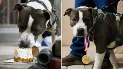 倒れた飼い主のために助けを呼んだピットブル 表彰状とご褒美の犬用ケーキが贈られる