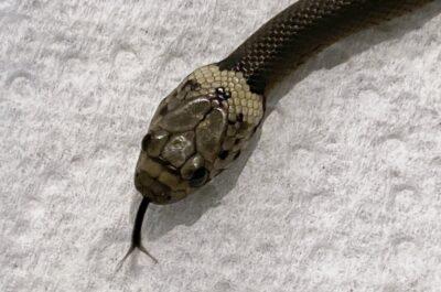 コブラ科の毒ヘビで体長20センチほどの「PALE―HEADED・SNAKE」