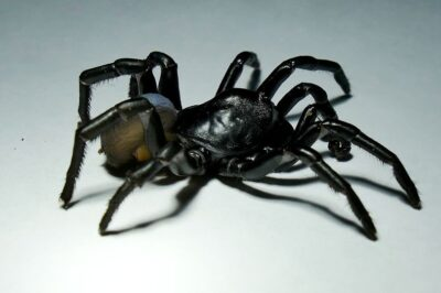 20年間生きることができる毒トタテグモ
