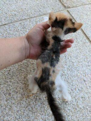 飼育放棄できょうだいの被毛を食べていた栄養失調のネコのルル(lulu)