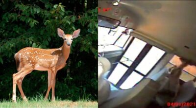 走行中のスクールバスに鹿が飛び込む