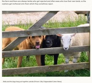自分を犬と思い込む羊