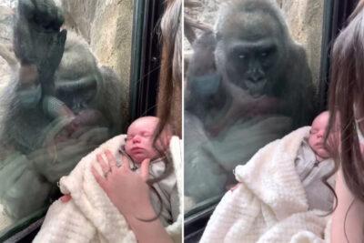 動物園の母ゴリラ、人間の赤ちゃんにガラス越しに会話