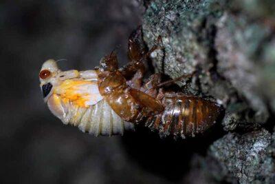 ブロードXのセミとして知られる何十億もの昆虫