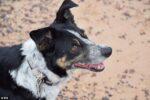 聴覚を失った9歳の牧羊犬、ハンドサインを覚えて見事復帰