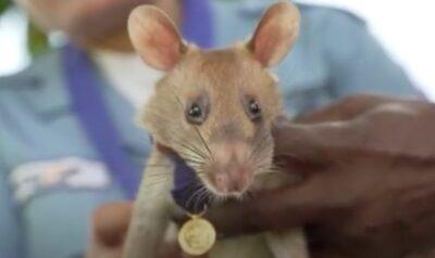 カンボジアの地雷除去で大活躍、ネズミの「マガワ」が引退