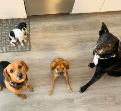 脊椎が極端に短い犬ティリー(Tilly)、安楽死を逃れ2歳に