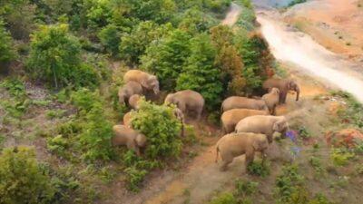 雲南省で北上中のゾウの群れ