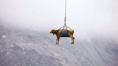スイスアルプスでヘリコプターによって空輸された牛